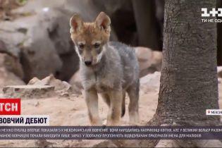 Новости мира: в Мехико посетителям впервые показали 5 мексиканских волчат