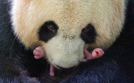 Вперше у зоопарку Франції панда народила близнят
