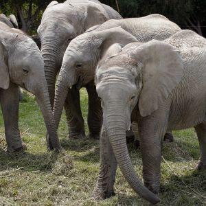 Африканские слоны находятся на грани исчезновения