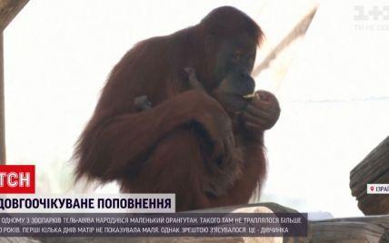 Долгожданное пополнение: в зоопарке Тель-Авива родился маленький орангутан