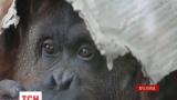 Аргентинский орангутан Сандра ищет новый дом