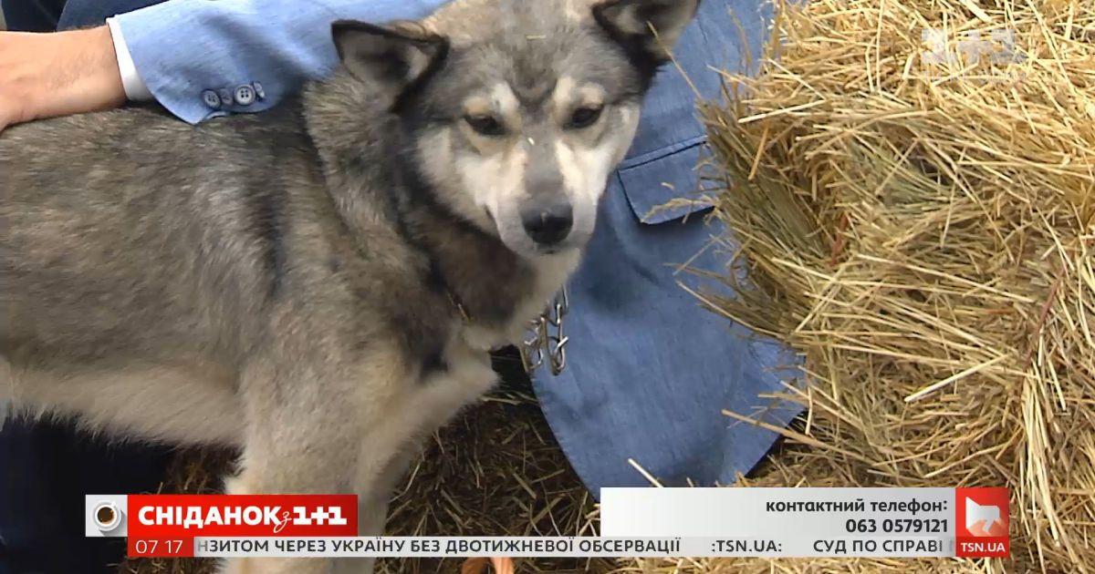 Собака-волк ищет заботливых хозяев
