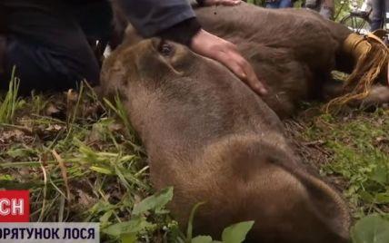 Для спасения лосихи под Киевом развернули спецоперацию: на помощь прибыли спасатели и ветеринары