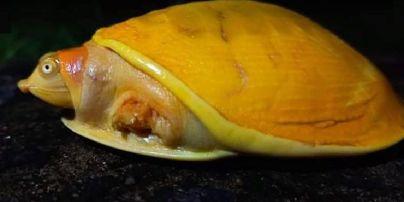 В Індії фермер знайшов дивовижну жовту черепаху