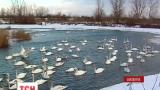 Сотні лебедів злітаються на Буковину перечекати зиму