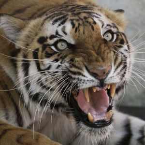 В Индии тигрица убила работника зоопарка