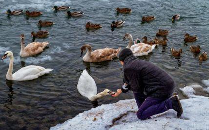 У Чернівцях рятують пів тисячі лебедів, які ослабли через морози і не змогли відлетіти