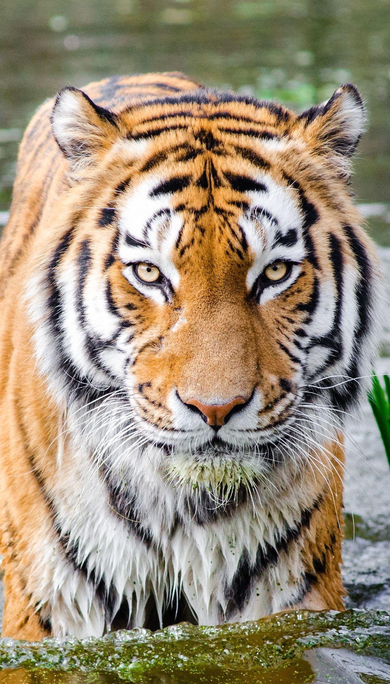 """""""Вбив і замочив у вині"""": у В'єтнамі затримали чоловіка з тушею рідкісного тигра"""