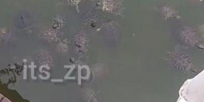 Почти как медуз в море: в пруду Запорожье зафиксировали нашествие черепах (видео)