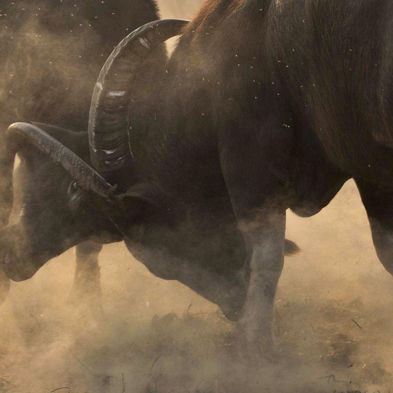 В Одеській області стадо буйволів евакуювали через нестачу їжі