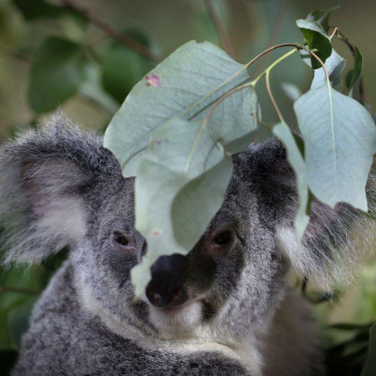 Из-за постоянных лесных пожаров в Австралии коалы на грани исчезновения: их будут охранять законом