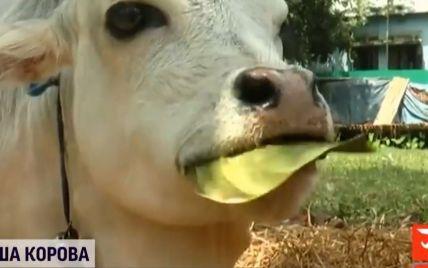 Чия корова найменша у світі: сперечаються Індія та Бангладеш