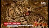 Самиця рідкісного виду леопарда, виявилася вгодованим самцем