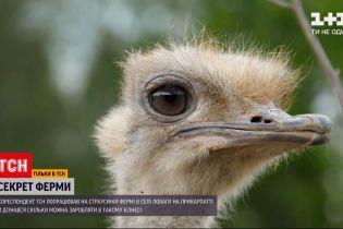 """Спецпроект """"Секрет фермы"""": как безопасно удерживать крупнейших в мире птиц - страусов"""