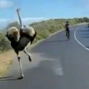 У Південній Африці страус влаштував перегони з велосипедистами під час їхнього тренування