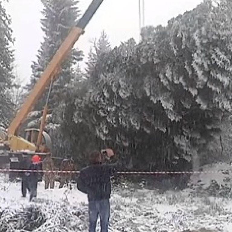 На Прикарпатті майже п'ять годин рубали головну новорічну ялинку України