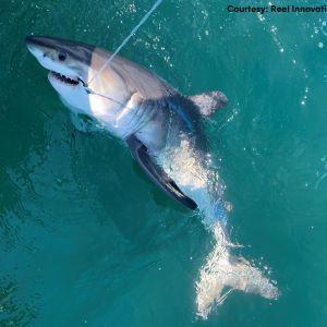 Американські рибалки випадково спіймали агресивну акулу-людожера (фото, відео)