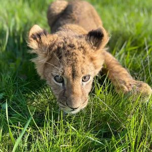 Не можуть бігати: левенята, яких забрали з контактного зоопарку на Київщині, потребують лікування