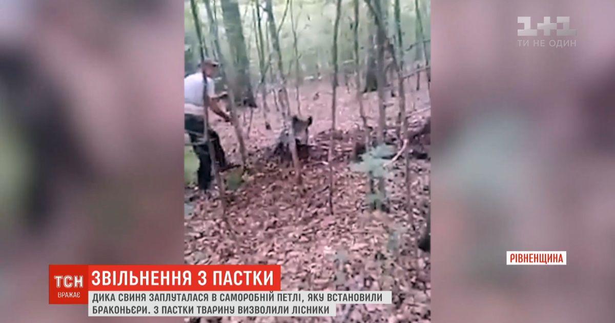 Егеря спасли дикую свинью, которая попала в ловушку браконьеров