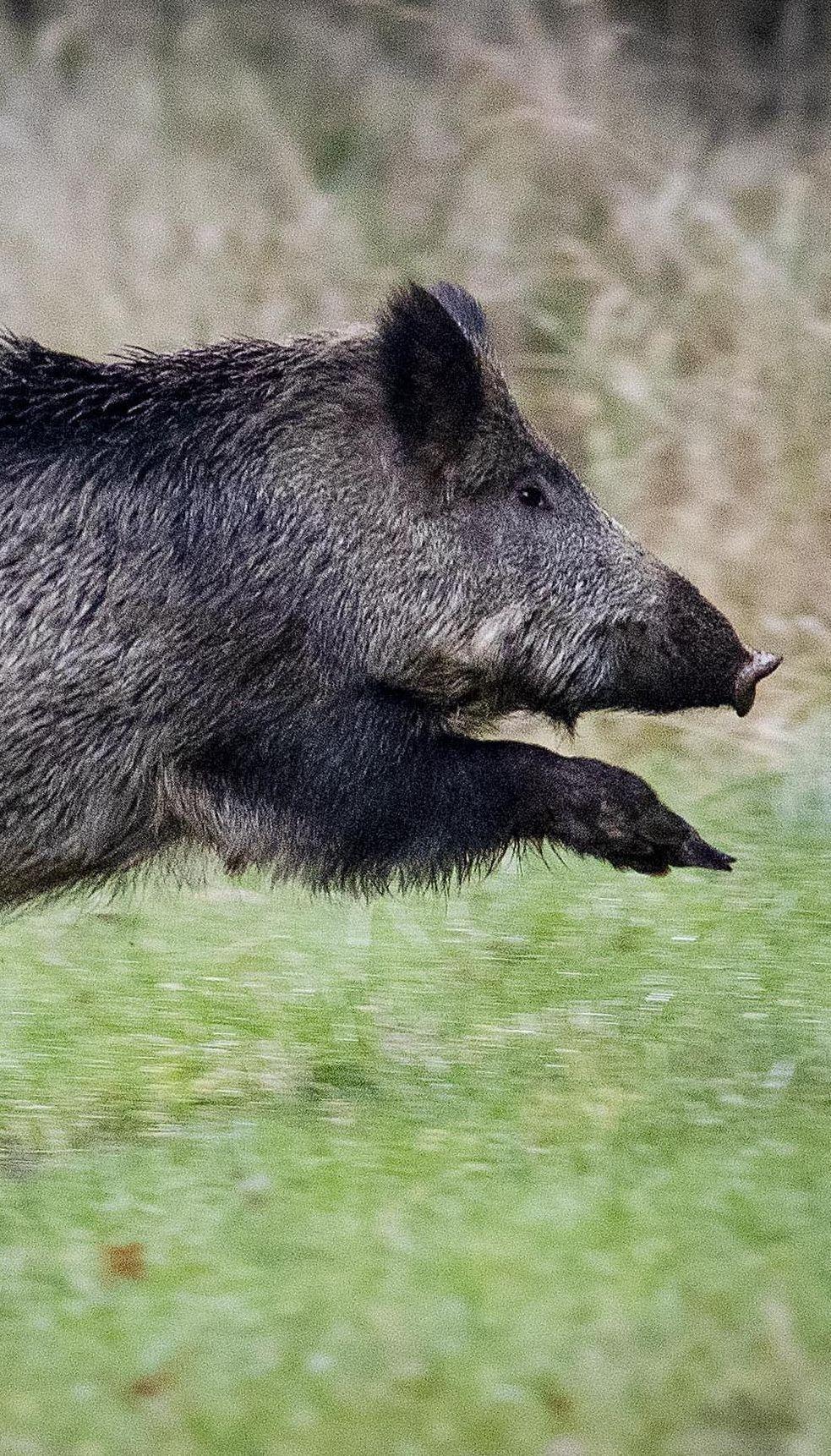 Кабаны-вандалы: жители села на Буковине страдают от опустошительных набегов диких свиней
