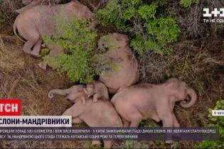 Новини світу: у Китаї зафільмували стадо диких слонів, які полягали спати посеред лісу