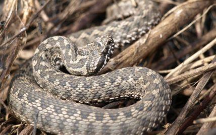 Що робити, якщо вкусила змія: поради МОЗ