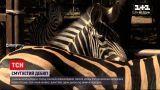 Новости Украины: в харьковском экопарка публике показали 1-месячную зебру