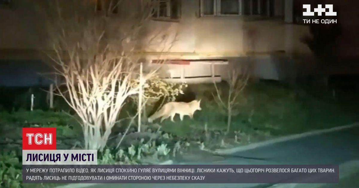 В Сеть попало видео, как лиса свободно разгуливает среди винницких многоэтажек