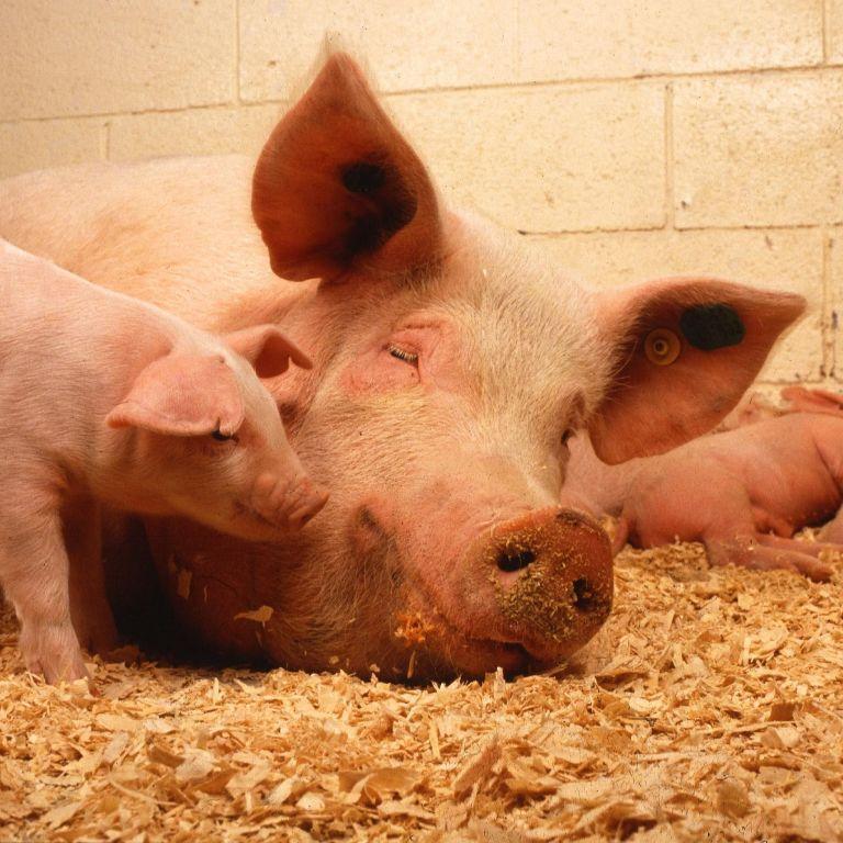 На Буковине массовая вспышка африканской чумы: из-за заболевания забьют 21 тысячу свиней
