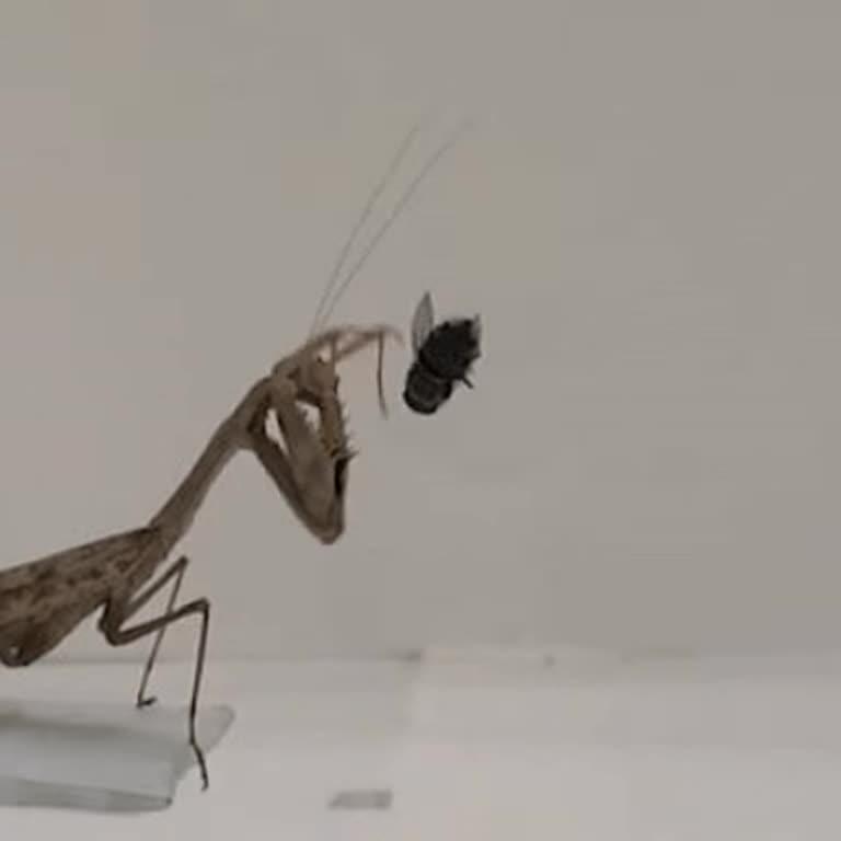 У Мережі показали детальне відео із приголомшливим нападом богомола на комаху