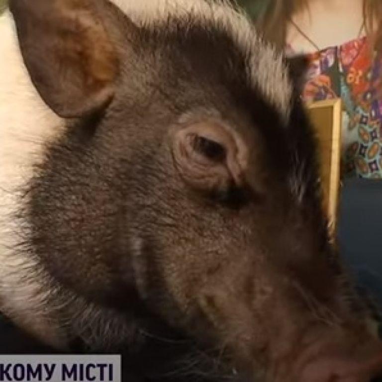 Столичная свинка Адель разгуливает на поводке и может претендовать на звание самой чистой и милейшей киевлянки