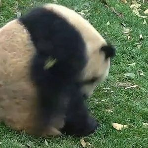 Юзерів зворушило відео кумедної панди, що перекидається