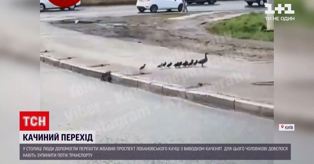 Новини України: у Києві зупинили рух автомобілів, аби зграя каченят перейшла дорогу