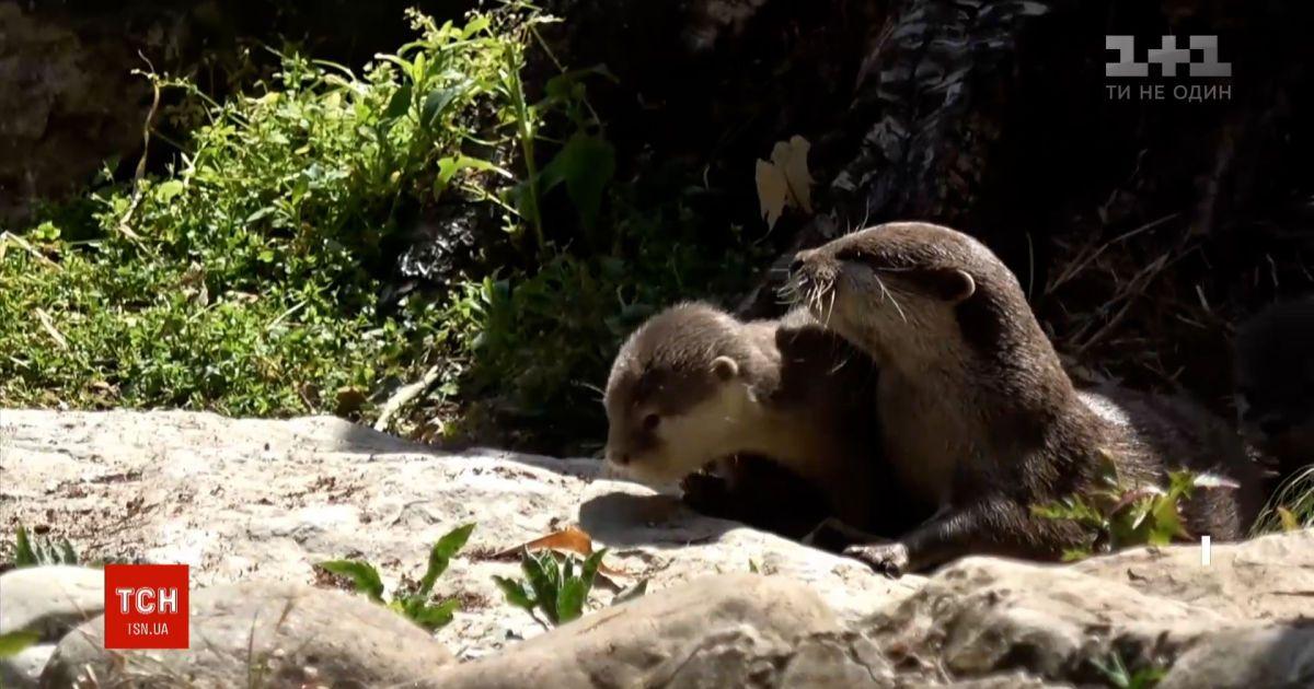 В лондонском зоопарке сообщили о появлении на свет двух маленьких выдр