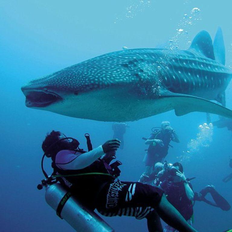 Дайвер врятував гігантську китову акулу поблизу Мексики