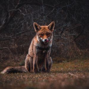 Ховалась за дошками: у Києві скажена лисиця покусала жінку