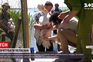 Новости Украины: в Одесской области активисты пытаются спасти самку краснокнижного пеликана