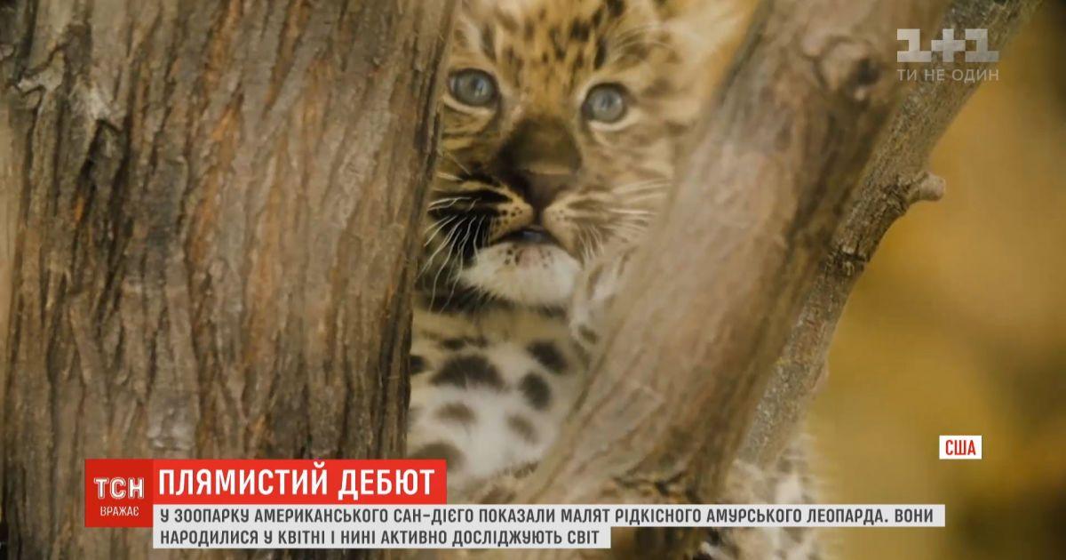 В зоопарке Сан-Диего показали малышей редких амурских леопардов