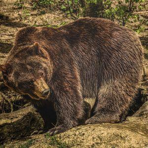 """""""Так близко еще не подходили"""": на окраине Черновцов разгуливает бурый медведь"""