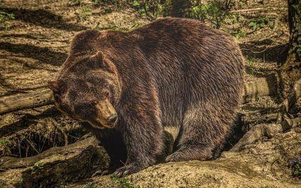 У Росії ведмідь напав на туристичну групу: є загиблі