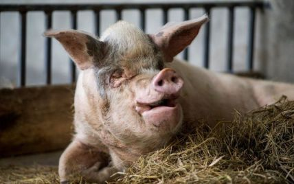 ДТП із свиньми під Хмельницьким: перекинулася фура, яка перевозила тварин