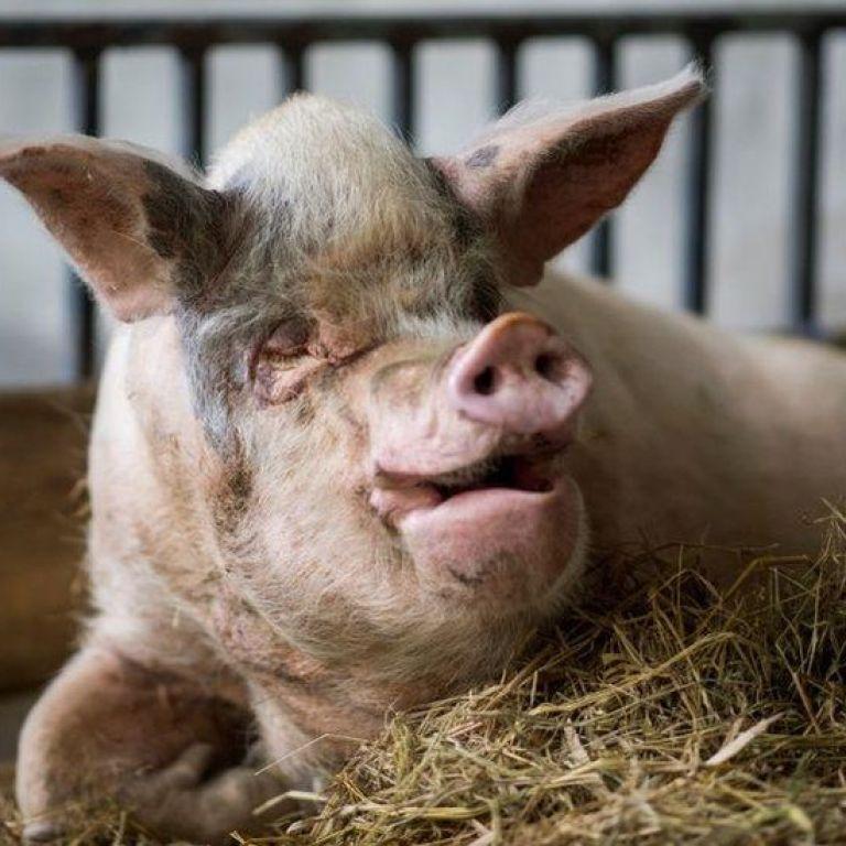 """У Китаї померла """"свиня сильної волі"""", яка пережила 36 днів під завалами після землетрусу"""