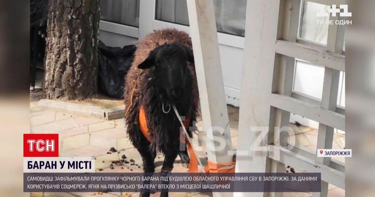 Новости Украины: в Запорожье баран удрал с местной шашлычной и разгуливал по улицам города