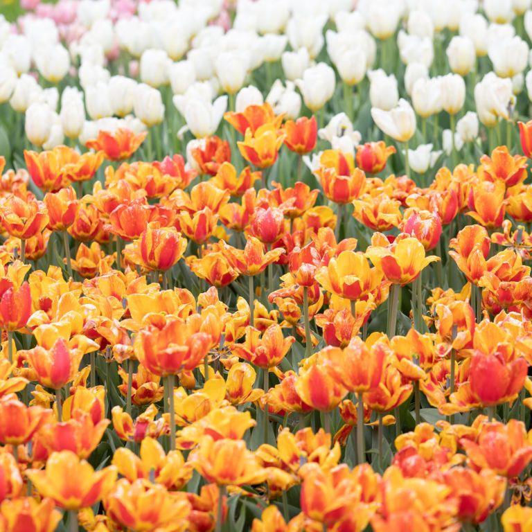 Три гектари тюльпанових полів: на Волині розпочався квітковий фестиваль