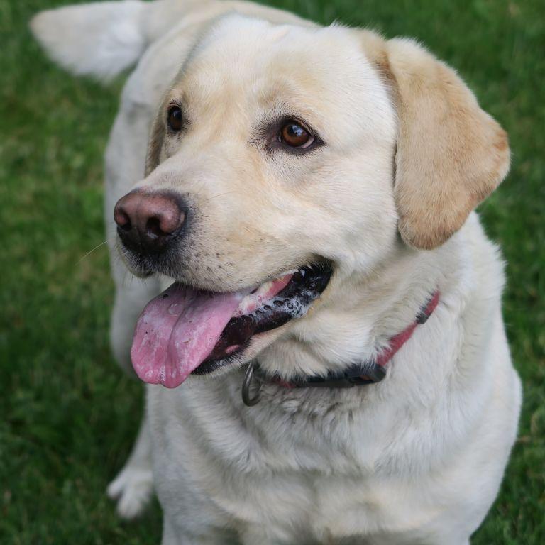 В Великобритании пес помог ребенку вызвать врачей и спасти мать