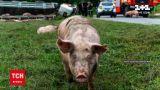 Новости Украины: в Хмельницкой области перевернулся грузовик, перевозивший свиней