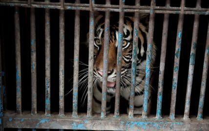 """В оккупированном Россией Крыму в парке львов """"Тайган"""" тигр откусил годовалому ребенку палец"""
