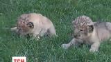 Запорожцы подарят двух львят Тбилисскому зоопарку, фактически уничтоженному стихией
