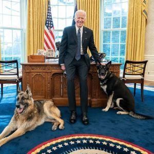 Не минуло й місяця: вівчарка Байдена вдруге вкусила людину в Білому домі
