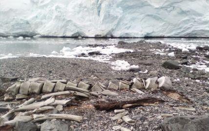 """Научное открытие: ученые определили возраст останков кита, найденных возле станции """"Академик Вернадский"""""""